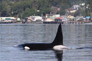 home of the killer whale - alert bay